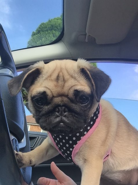 Vicky Hillards pug in the front seat.