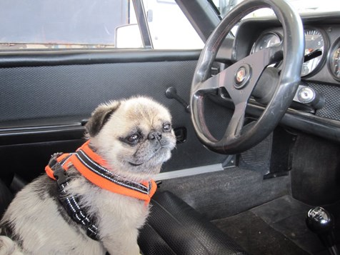 Helen Goffs pug in the drivers seat
